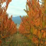 """""""cherry orchard in fall splendour"""" by pixelviz"""