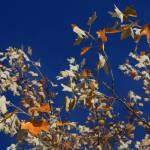 """""""Sugar maple in fall"""" by pixelviz"""