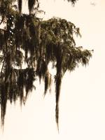 The Legend Of The Spanish Moss