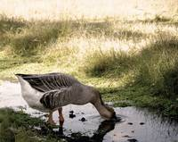 Goose Drinking Photo by Ginette