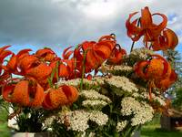 Tiger Lilies 403