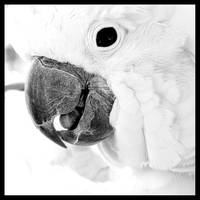 Black and White Cockatoo Abstract