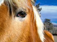 Haflinger Eye