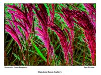 Decorative Grass. Burgundy