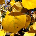 """Aspen Leaves in Boulder 10-10"" by davidflurkey"