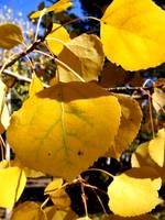 Aspen Leaves in Boulder 10-10
