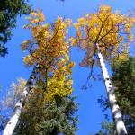 """Dual Aspens in Boulder"" by davidflurkey"