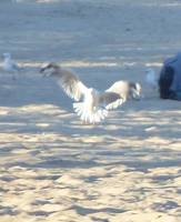 Seagull in movement