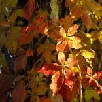 """""""Fall Leaves of Ivy"""" by CooperSlay"""