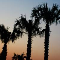 Palm Trees at sunset DW Art Prints & Posters by Rivere Thomas