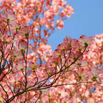 """Nature Landscape Trees Pink Dogwood Flowers Sky"" by BasleeTroutman"