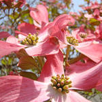 """Floral Fine Art Print Pink Dogwood Flowers Tree"" by BasleeTroutman"