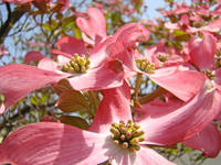 Floral Fine Art Print Pink Dogwood Flowers Tree