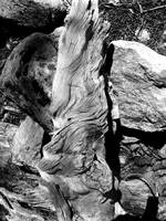 Gnarled Root in Boulder