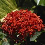 """Cayman Islands Plant Life: Red Ixora"" by RonScott"