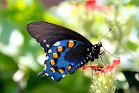 Pipevine Swallowtail 6a