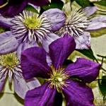 """Clematis Flower Vine"" by PhotographsByCarolFAustin"