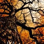 """""""oak tree, high noon, grand avenue."""" by djphotos"""