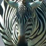 """Zebra  face 2B"" by Jaimie"