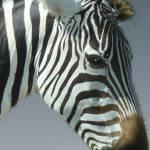 """""""Zebra Head 1B"""" by Jaimie"""