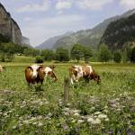"""Grazing on Wildflowers, Lauterbrunnen Valley, Swit"" by davidhowell"