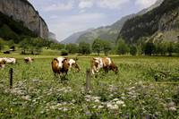 Grazing on Wildflowers, Lauterbrunnen Valley, Swit