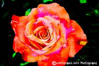 Rose HDR by Dee