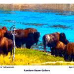 """""""Buffalos in Yellowstone"""" by randombeam"""