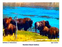 Buffalos in Yellowstone