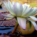 """lotus1"" by myshellazart"