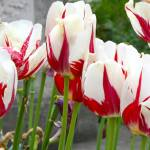 """tulips"" by photosbymj"