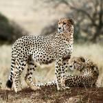 """""""Cheetahs"""" by Noamg"""