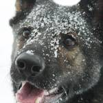 """Snow Dog"" by karolsstuff"