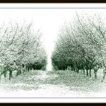 """filbert orchard"" by DBGilmore"