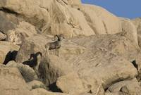 Bighorn Sheep, Joshua Tree National Park