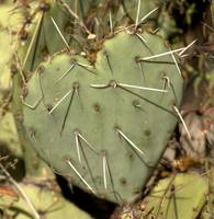 paddle cactus heart
