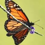 """Monarch on Porterweed"" by Groecar"