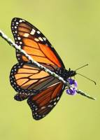 Monarch on Porterweed