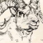 """Charcoal sketch Dall Sheep Ram"" by GinetteCallaway"