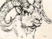 Charcoal sketch Dall Sheep Ram