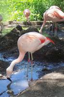 Thirsty Flamingos