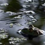 """""""Bullfrog"""" by Woakus"""