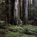 """""""Montgomery Woods Two Brothers"""" by mountain_exposure"""