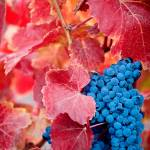 """Wine Grapes"" by winecountrycreations"