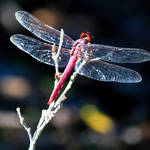 """Pink Dragonfly"" by Groecar"