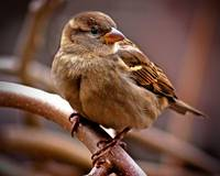 House Sparrow on the Branches.