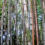 """Bamboo"" by bbriboy"