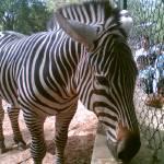 """""""Zebra"""" by noothankrishnan"""