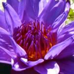 """""""Violet Lotus1"""" by myshellazart"""