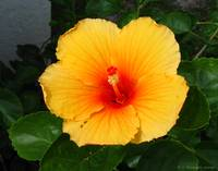 Hibiscus, October 2004